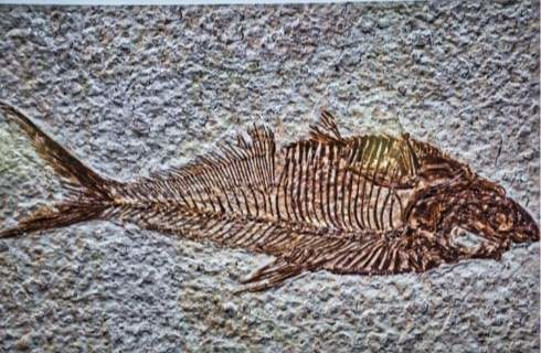 Fossilized fish in stone