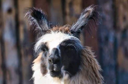 Close up view of the face of a white, black, and brown alpaca
