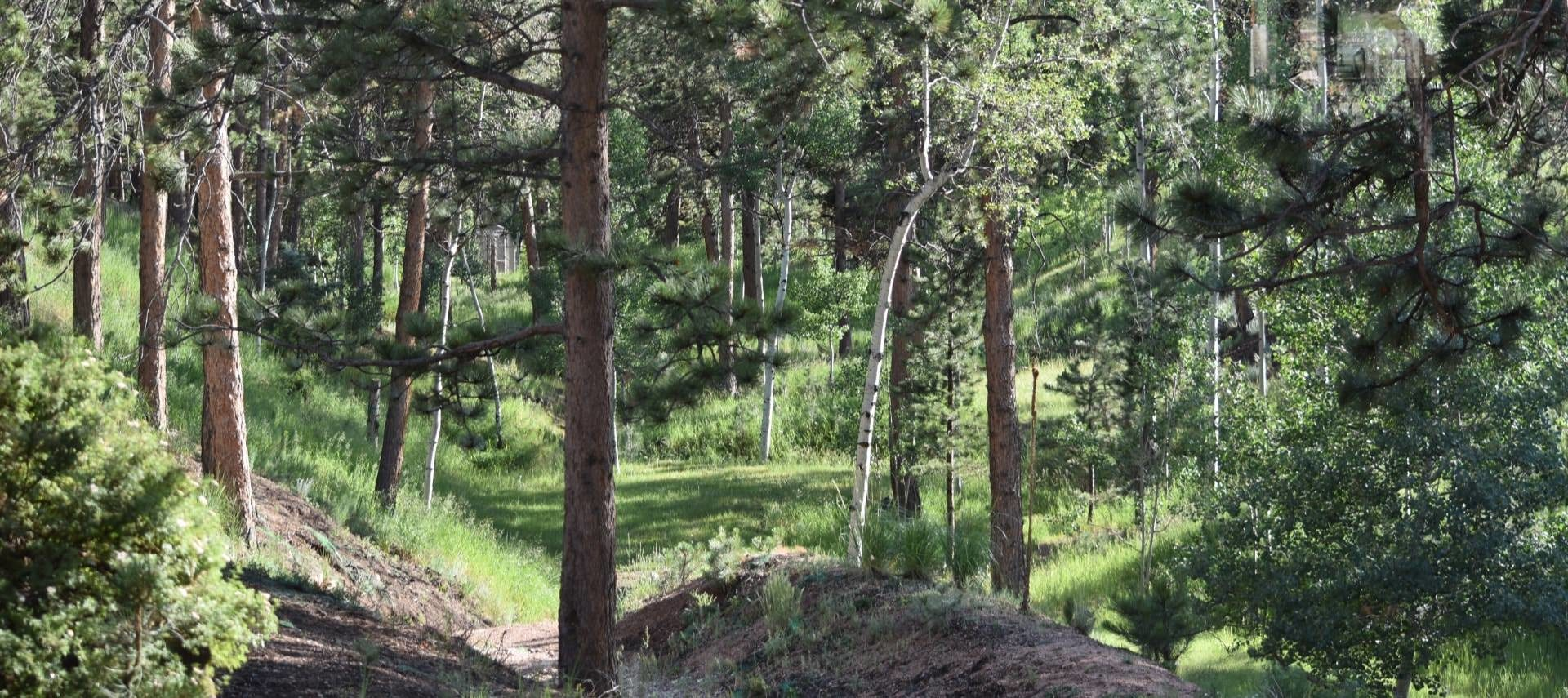 Many pine trees and aspen trees with green grass growing in between