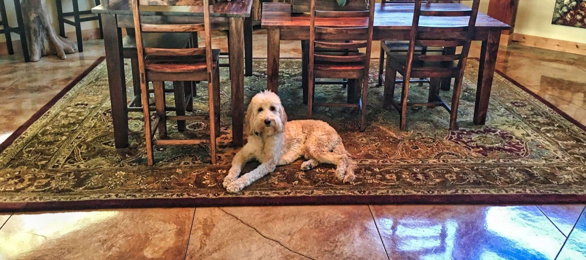 White fluffy dog posing for the camera laying on large area rug in front of wooden tables and chairs